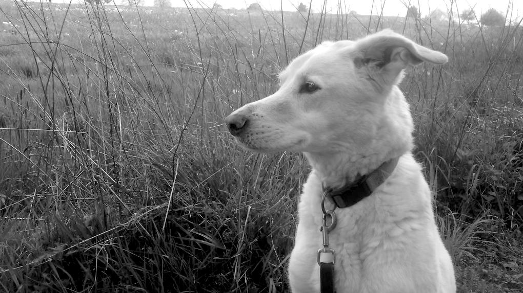 Warum Hunde den Urin erschnuffeln und lecken?