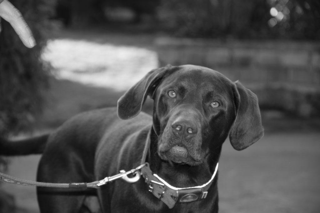 Rocky der Dogtrailer