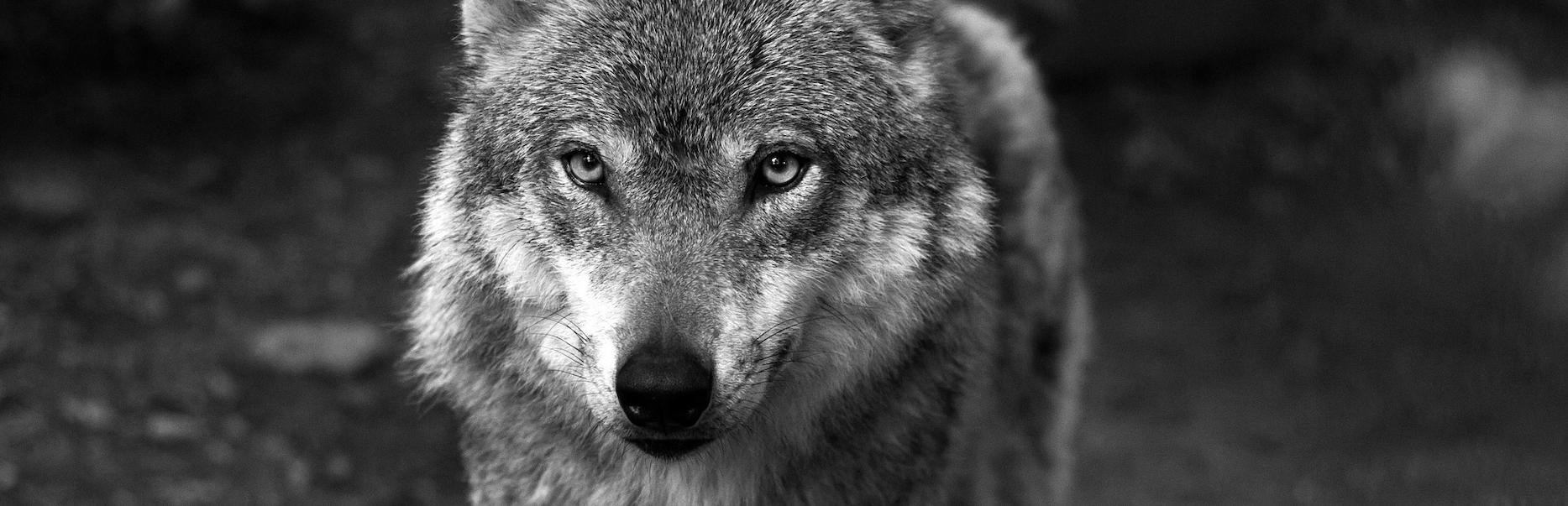 Wolfsgebiet Neunkirchen –  Seelscheid